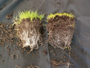 Mycorrhizae-on-grass-and-without
